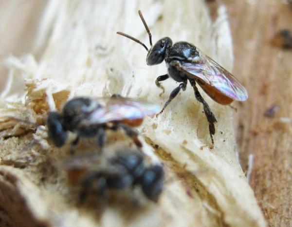 Austroplebeia australis Anne Dollin Aussie Bee web