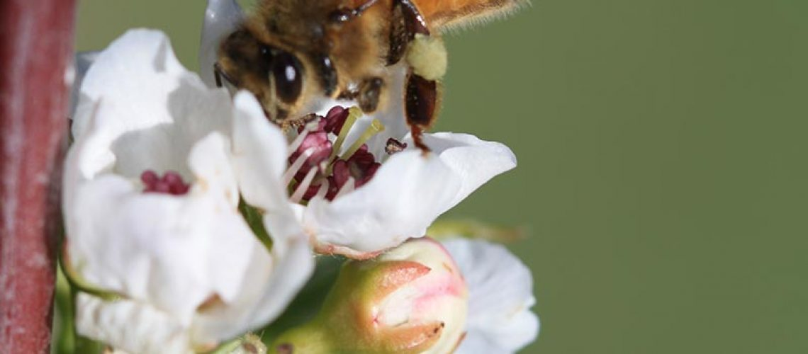 Bee-on-apple-blossom---SMalfroy