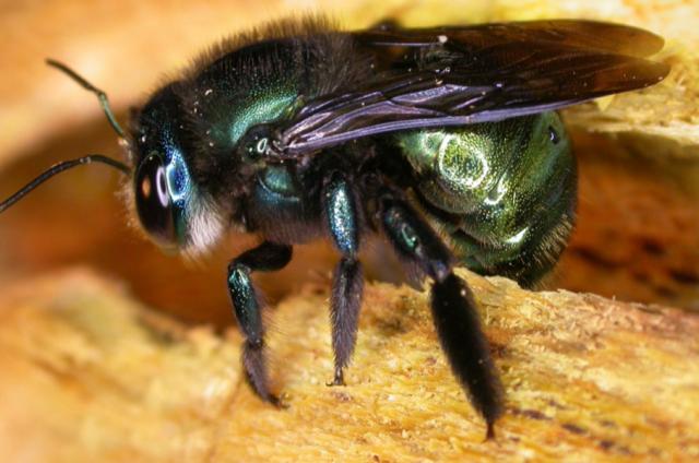 Green BeeLarger