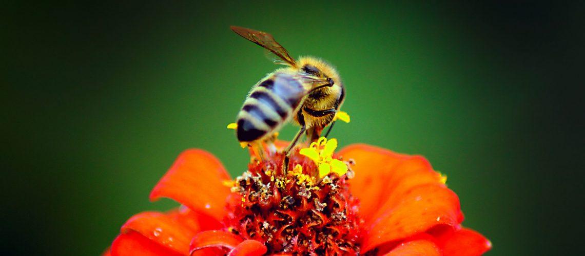 honeybee-perched-on-red-petaled-flower-in-closeup-752863