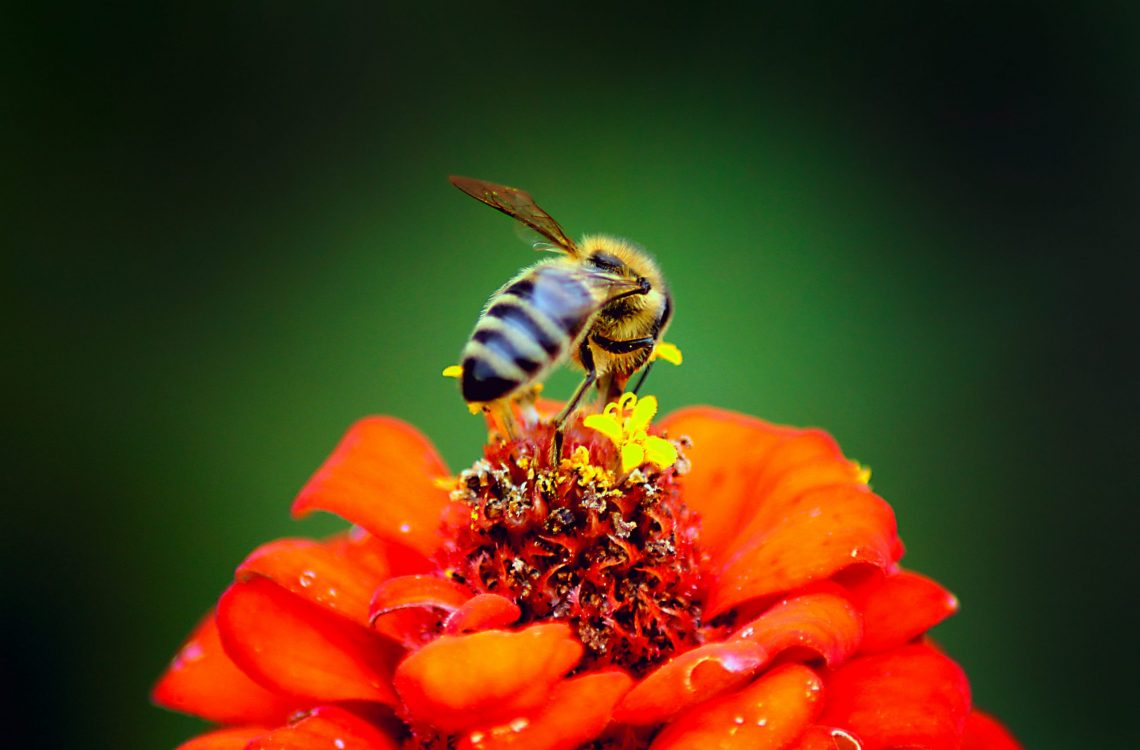 honeybee-perched-on-red-petaled-flower-in-closeup-752863